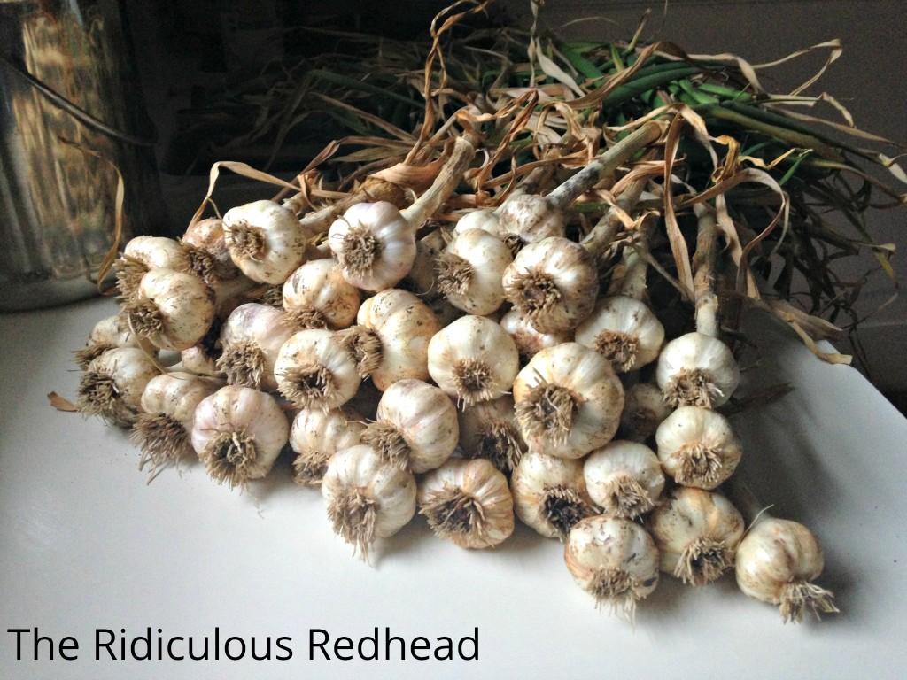 Ridiculous Redhead Garlic 5278