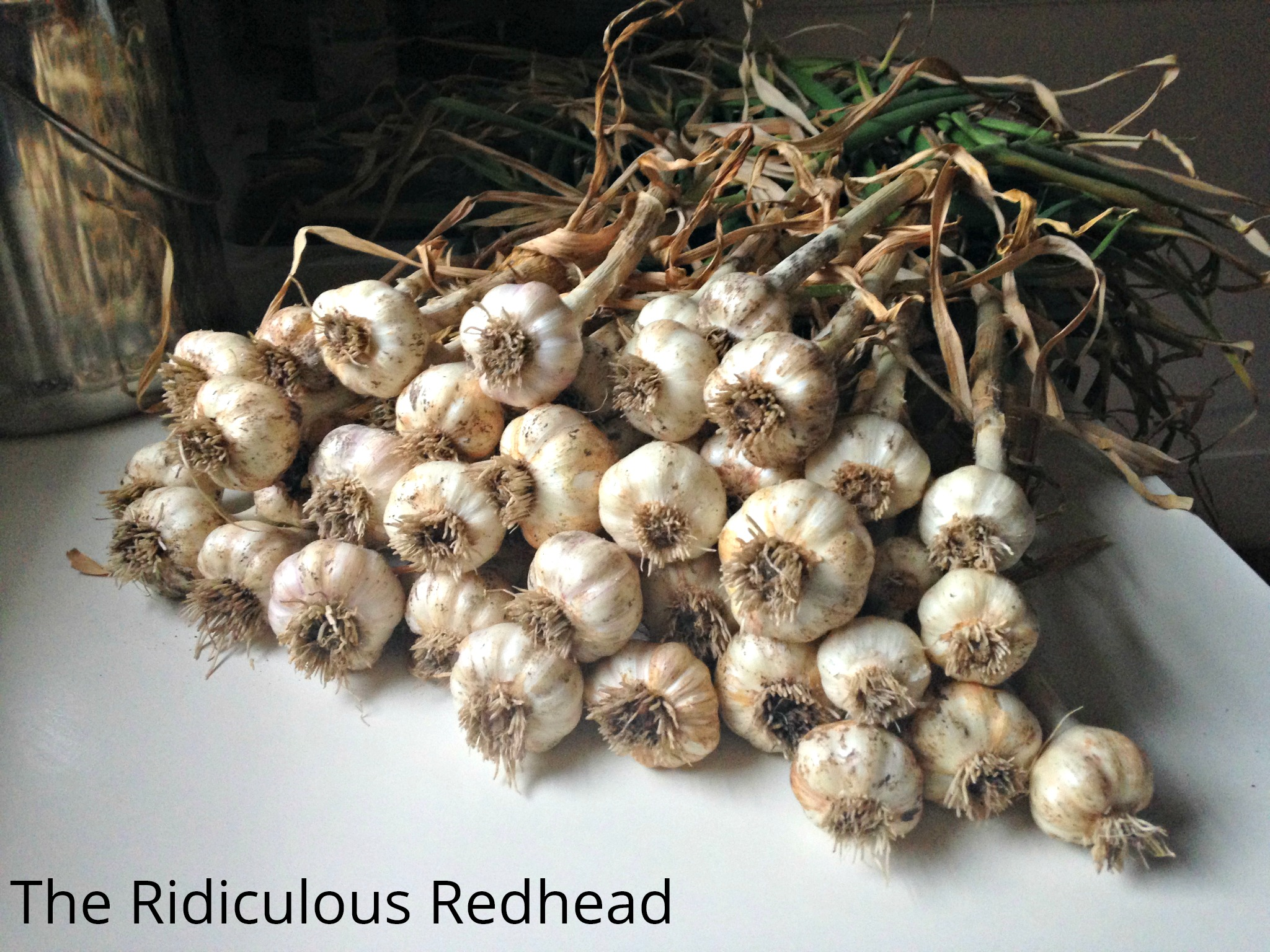 Ridiculous Redhead Garlic 5278