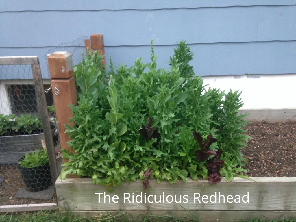 Ridiculous Redhead Lettuce