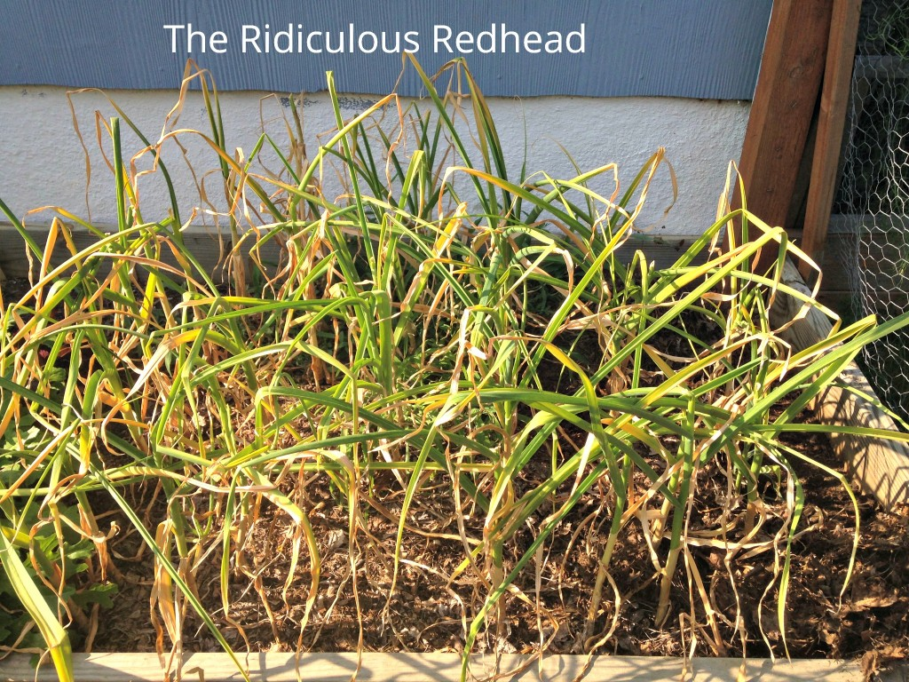 Ridiculous Redhead garlic bed 5233