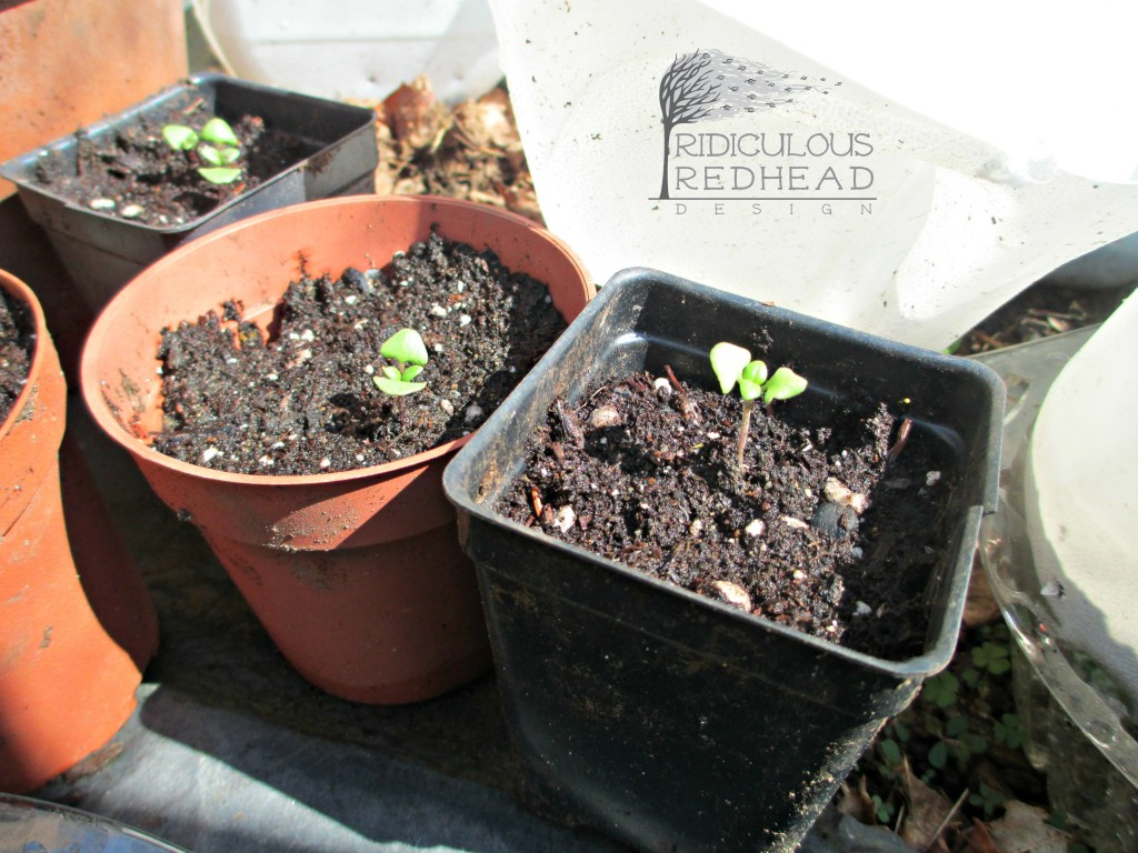 Ridiculous Redhead Thai Basil Seedlings