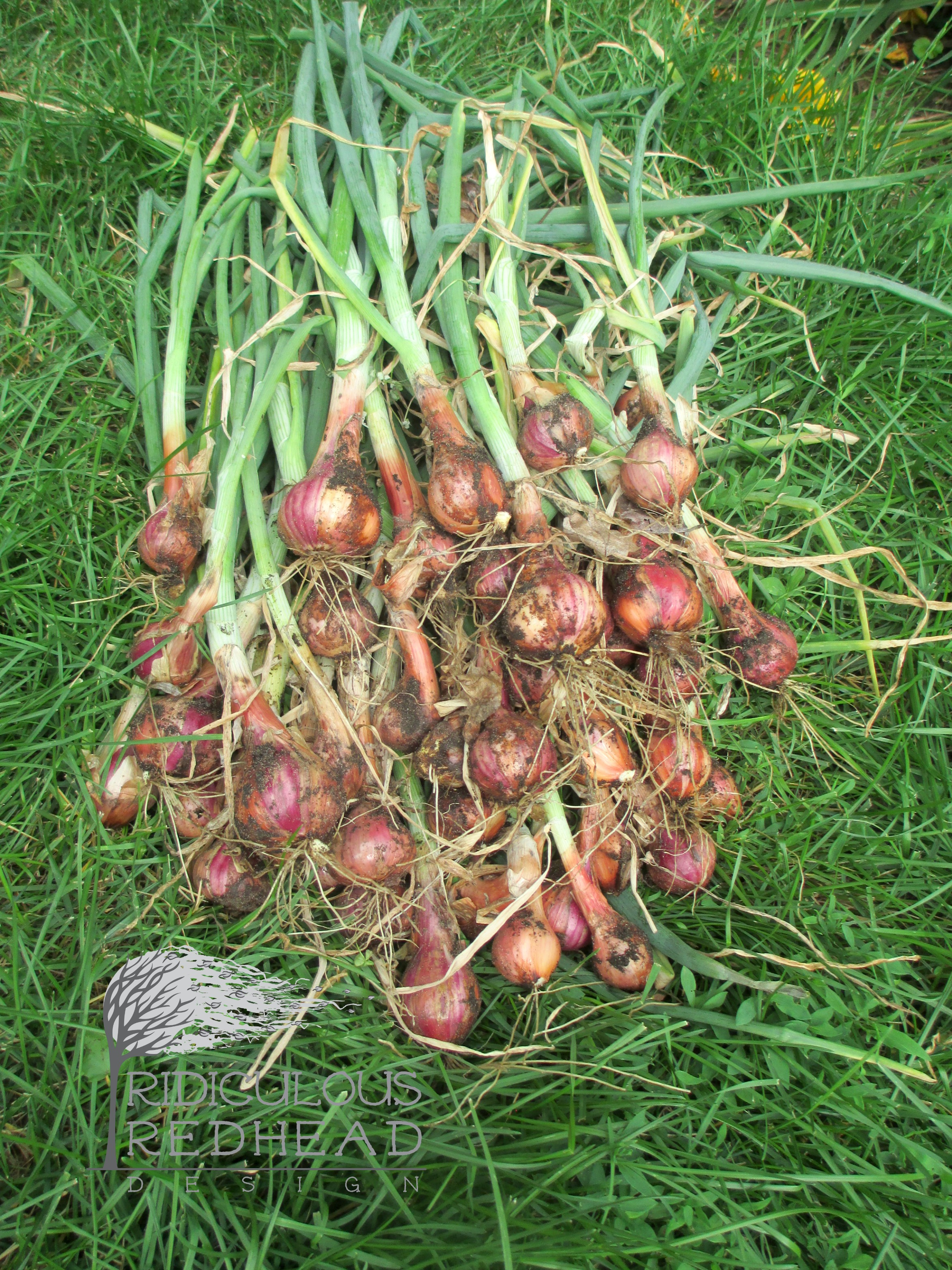Ridiculous redhead shallots 6.23